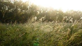 Злаковик рано утром стоковое изображение rf