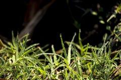 злаковик травы росы после полудня поздно естественный Стоковое Фото