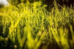 злаковик травы росы после полудня поздно естественный стоковые фото