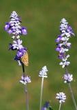 злаковик цветков бабочки после полудня поздно естественный Стоковые Фото
