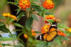 злаковик цветков бабочки после полудня поздно естественный Стоковое Фото