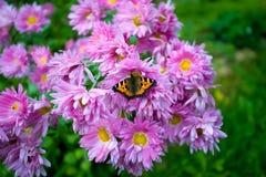 злаковик цветков бабочки после полудня поздно естественный Стоковые Изображения RF