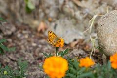 злаковик цветков бабочки после полудня поздно естественный Стоковая Фотография RF
