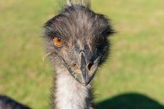 Злий смотря страус Стоковое Изображение RF