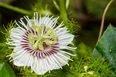 Зловонный passionflower Стоковая Фотография