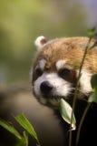 Здоровая красная панда есть листья бамбука. Стоковое Изображение