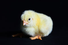 Здоровая предпосылка черноты цыпленка Стоковая Фотография