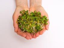 Здоровое питание Ростки редиски изолированные на белизне Стоковая Фотография