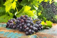 Здоровые виноградины красного вина плодоовощей в винограднике под дождем, d Стоковое Изображение