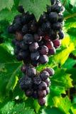 Здоровые виноградины красного вина плодоовощей riping в винограднике, темном grap Стоковые Изображения RF