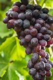 Здоровые виноградины красного вина плодоовощей riping в винограднике, темном grap Стоковое фото RF