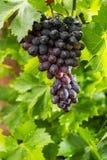 Здоровые виноградины красного вина плодоовощей riping в винограднике, темном grap Стоковые Изображения