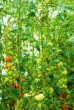 Здоровые естественные, который выросли заводы томата Стоковое Изображение