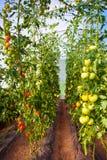 Здоровые естественные, который выросли заводы томата Стоковое фото RF