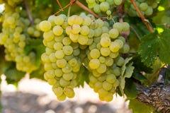 Здоровые зрелые сладостные и сочные белые виноградины Стоковая Фотография RF