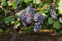 Здоровые зрелые сладостные и сочные виноградины красного вина. Стоковые Изображения RF