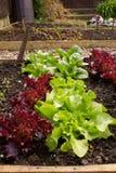 Здоровые доморощенные салаты Стоковая Фотография RF