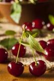 Здоровые органические кислые вишни Стоковые Изображения
