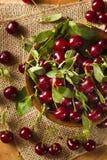 Здоровые органические кислые вишни Стоковое Изображение