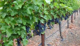 Здоровый виноградник Стоковые Фото