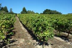 Здоровый виноградник Стоковые Изображения