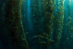 Здоровый лес келпа Стоковые Фото