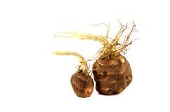 Здоровый овощ артишока Иерусалима (tuberosus подсолнечника) с весной пускает ростии Стоковые Изображения