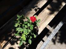 Здравствуйте! мое Rosé Стоковые Фотографии RF