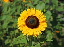 Здравствуйте! солнечность - желтый солнцецвет в поле Стоковое Изображение