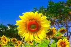 здравствуйте! солнцецвет Стоковые Фотографии RF