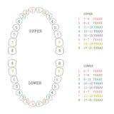 диаграмма зуба, человеческие зубы Стоковые Изображения RF