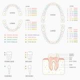 диаграмма зуба, человеческие зубы Стоковые Фотографии RF