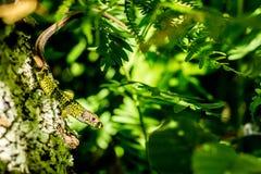 Иберийская изумрудная ящерица стоковое изображение rf