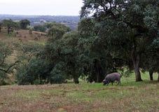Иберийская свинья есть жолуди в поле стоковые изображения rf