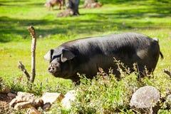 Иберийская свинья на поле Стоковое Фото