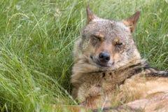 Иберийские закрытые глаза волка стоковые фотографии rf