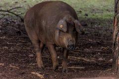 Иберийские свиньи в поле стоковые фотографии rf
