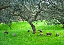 Иберийские свиньи в луге, Испании Стоковые Изображения RF