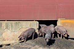 Иберийские свиньи и свинарник Стоковая Фотография RF