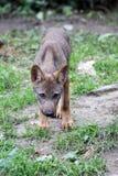 иберийский волк щенка Стоковая Фотография RF