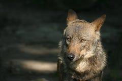 иберийский волк стоковые изображения
