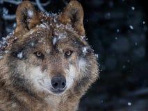 Иберийский волк в снеге в лесе в зиме Стоковые Фотографии RF