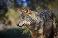 иберийский волк Стоковые Фото
