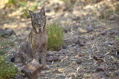 Иберийский рысь сидя на сигнале тревоги Стоковое фото RF