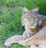 иберийский lynx Стоковые Изображения RF