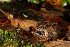 Иберийское iberica Раны лягушек в пруде Trives, Orense, Испании Стоковые Изображения RF