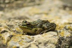 Иберийское perezi Pelophylax зеленой лягушки Стоковая Фотография