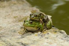 Иберийское perezi Pelophylax зеленой лягушки Стоковое Изображение RF