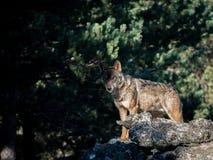 Иберийское signatus волчанки волка волка смотря на утесе Стоковое Изображение