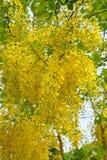 ливень цветка золотистый Стоковая Фотография